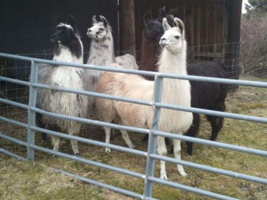 Visit the llamas
